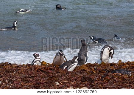 Many Magellanic penguins in natural environment on Seno Otway Penguin Colony near Punta Arenas in Patagonia Chile South America