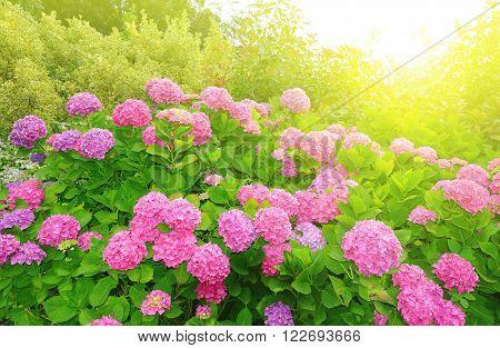 Pink Hydrangea flower (Hydrangea macrophylla) in a garden