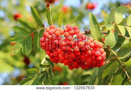 Rowan berries on a tree, bright summer picture