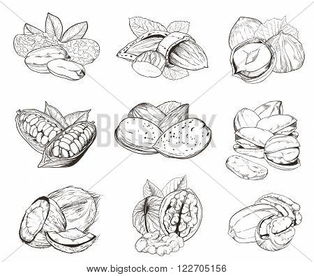 Isolated nuts on white background. Engraved raster illustration of leaves and nuts of pistachio, pecan, walnut, coconut, cocoa, hazelnut, almond, peanut. Set of mixed nuts.