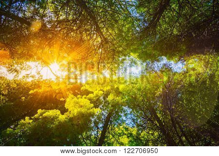 Summer Sun Shining Through Canopy Of Tall Trees Woods. Sunlight In Deciduous Forest, Summer Nature. Upper Branches Of Trees Background