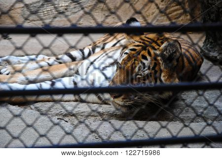 Big royal tiger sleep in cage zoo lonely no freedom
