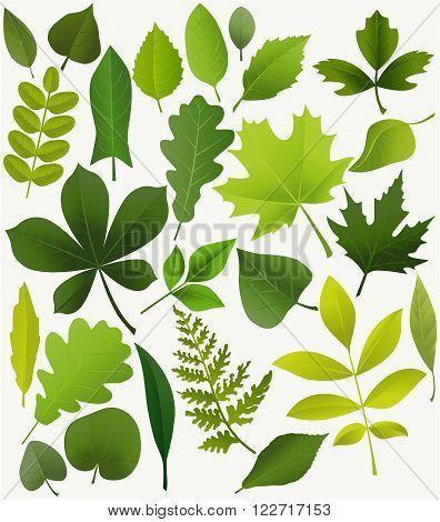 Set of popular tree leaves - vector illustration