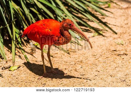 Scarlet ibis in sunshine beside green bush
