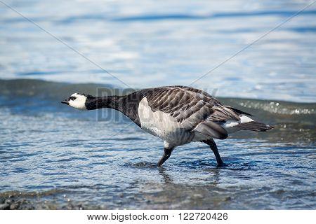 Barnacle goose Branta leucopsis - Jokulsarlon in Iceland ** Note: Soft Focus at 100%, best at smaller sizes