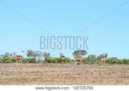 A herd of kudu cows in the Addo Elephant National Park of South Africa