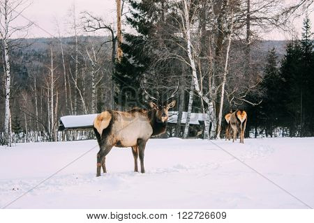 Royal red deer buck with antlers look at the camera