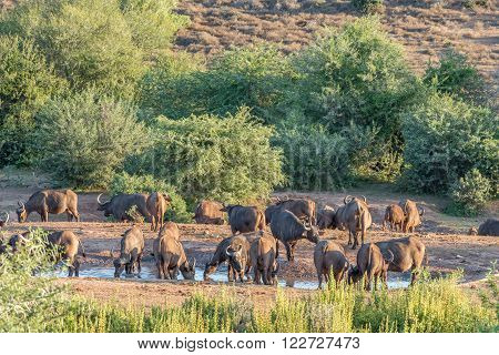 A buffalo herd drinking at sunset at the Nyati waterhole at the main camp in the Addo Elephant National Park of South Africa
