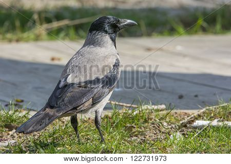 Black  and gray  crow isolated on park  background