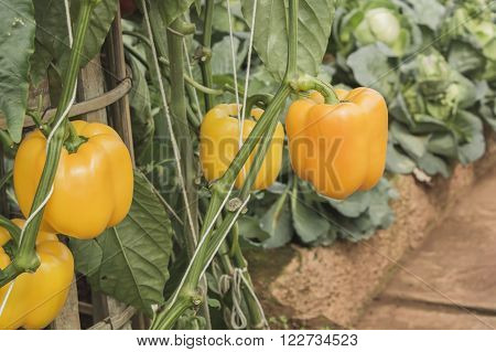 Close up view of three fresh orange bell peppers, sweet pepper or capsicum growing on a green pepper plant