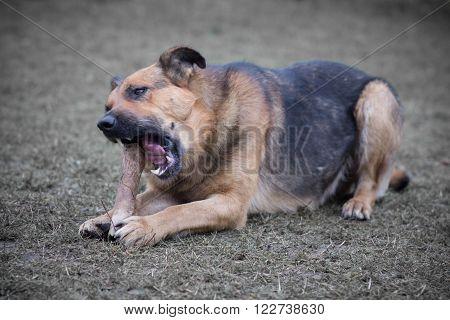 Dog eats a piece of a calf sternum