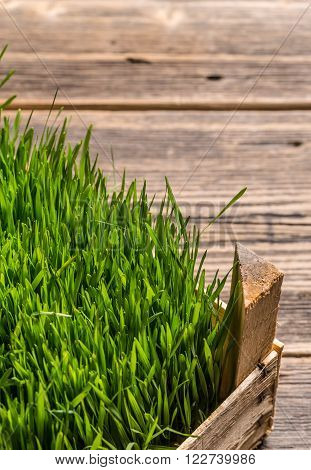 Fresh Wheat grass with space for your text