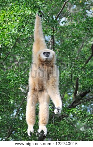 A White Cheek Gibbon Hanging on the tree