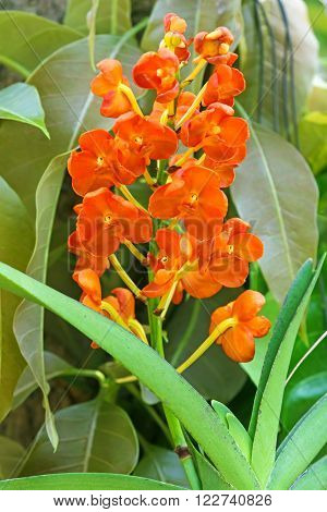Closeup of fresh Rust-red Ascocentrum orchid flowers in orange color ( Ascocentrum miniatum ) blossoming in the tropical garden in Thailand