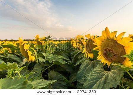 Rows of sunflowers in a field bottom view