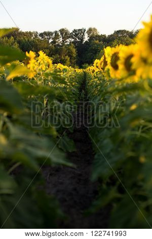 Inside the rows of sunflowers in a field