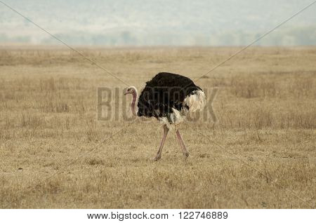 ostrich wandering in ngorongoro conservation area, Tanzania