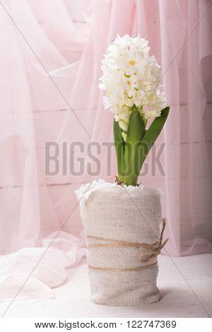 White hyacinth spring flower closeup on pink background