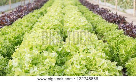 Organic Hydroponic Fresh Lettuce Farm.