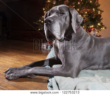Blue Great Dane that is next to a Christmas tree