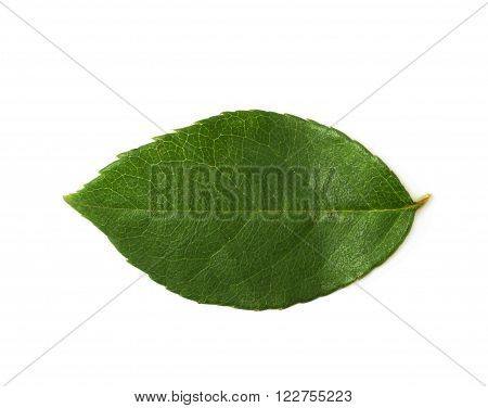 Single green rose leaf isolated over the white background