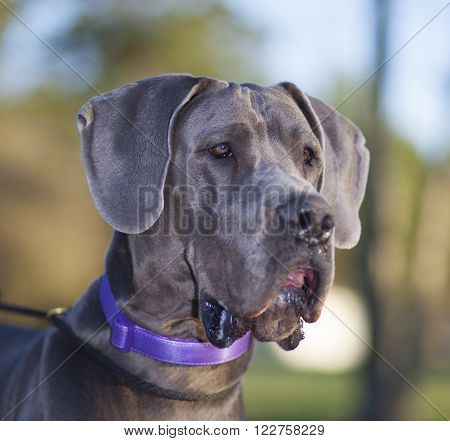 Purebred Great Dane that is Grey up close
