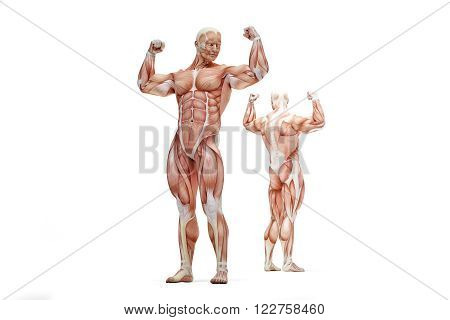 Posing athlete showing of human muscle anatomy. Isolated over white. Contains clipping path