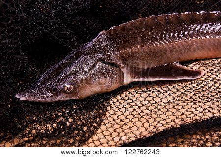 Close Up View Of The Sterlet Fish On Fishing Net. Sterlet Is A Small Sturgeon.