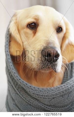 golden retriever in blanket at home, close up