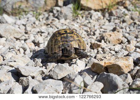A leopard tortoise crossing a gravel road.