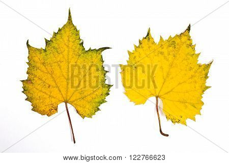 Assort Of Different Autumn Grapes Leaves Isolated On White Background. With Clipping Path.