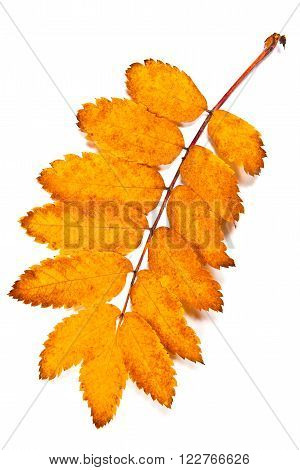 Autumn Rowan Tree Leaf Isolated On White Background. With Clipping Path.