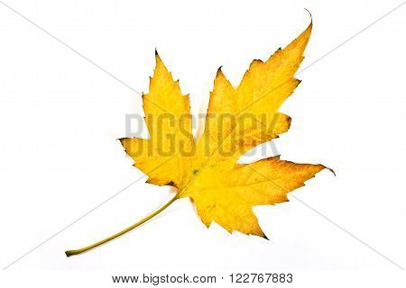 Autumn Maple Leaf Isolated On White Background. With Clipping Path.