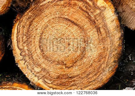 Wood Texture Of Cutted Tree Trunk, Close-up. Rough Cut Of Fruit Tree.