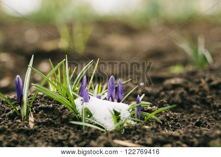 First spring flowers background, purple crocuses on snow, copy space