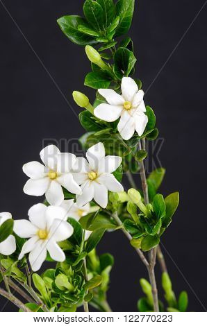 Gardenia jasminoides (Cape jasmine) foliage and flower