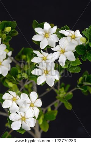 gardenia flowers with green leaves on black background