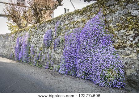 Purple Aubretia growing on a stone garden wall in spring