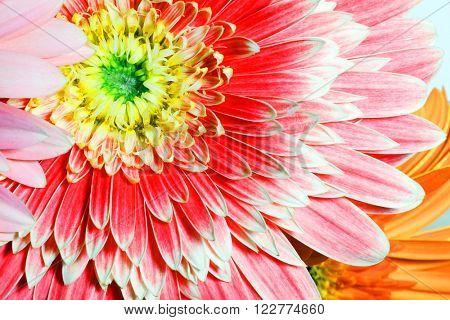 Gerber. Fresh Summer flowers