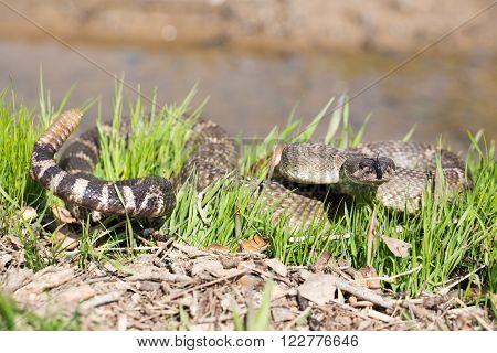 Northern Pacific Rattlesnake in California, USA. Snake rattles loudly, extends forked tongue, and takes on defensive posturing.