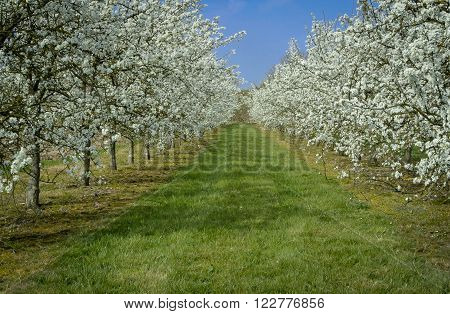 An orchard of plum trees with white blossom