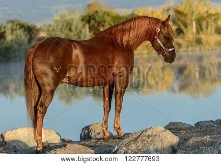 Proud stallion poses in early morning light at edge of pond.