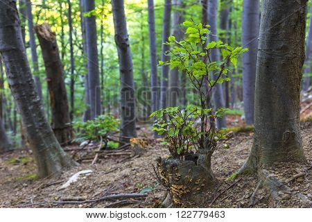 Young green beech sapling Fagus sylvatica in summer