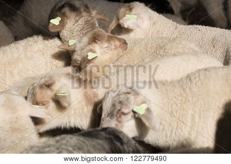 A flock of lambs standing in a stable