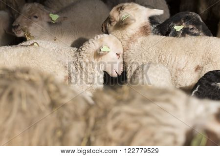 white lambs leaning against each other in a stable