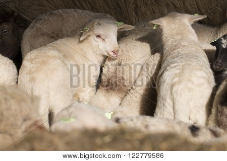 white lambs standing together in a stable