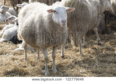 White sheep standing between other sheep, outside