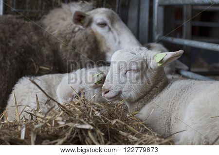 Lamb, lying with eyes closed, in hay