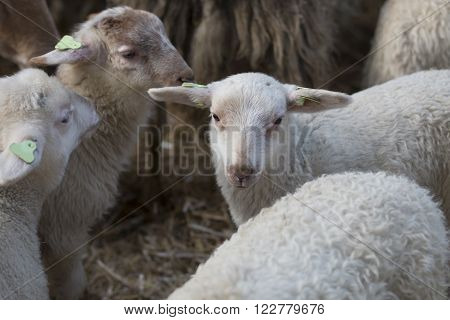 Lambs, white and brown, standing together in a stable