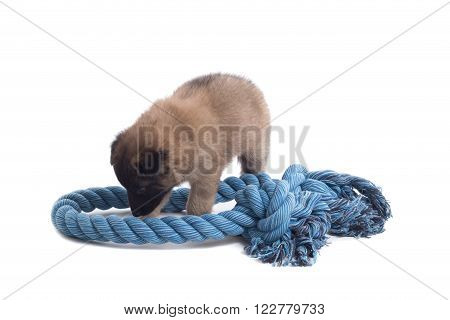 Puppy Belgian Shepherd Tervuren playing with rope isolated on white background